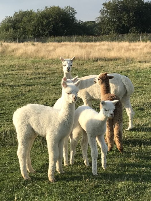 Have you tried Alpaca Yoga yet?