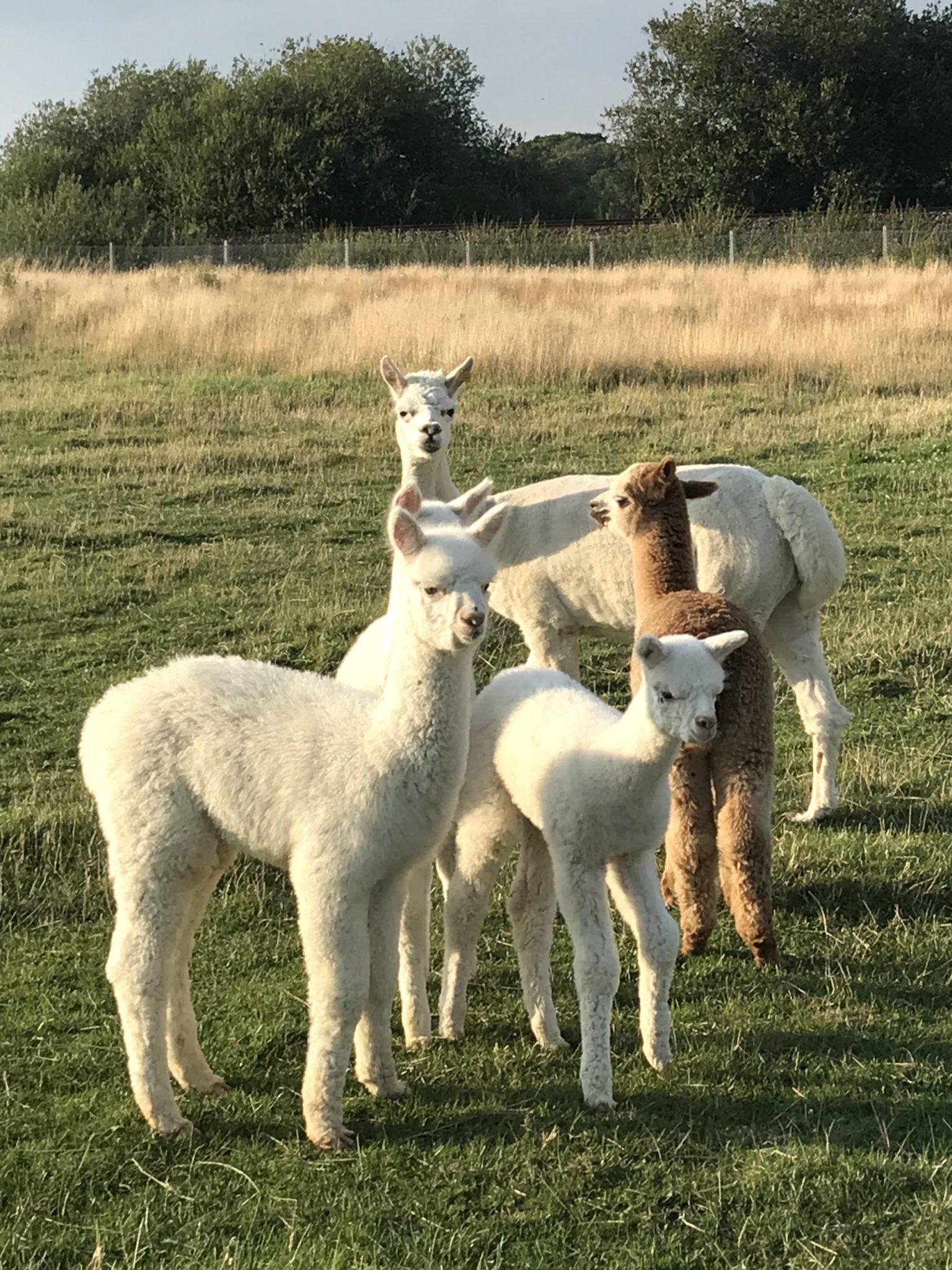 Have you tried Alpaca Yoga yet?